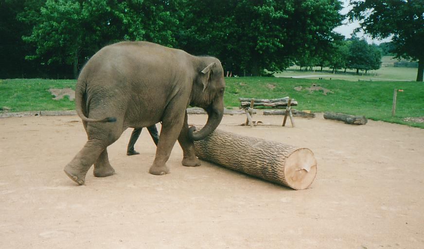 http://www.rowles.org.uk/photos/woburn/elephant_roll.jpg